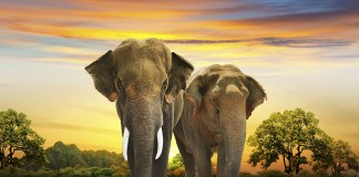 Two elephants at sunset. Thailand-Property.com